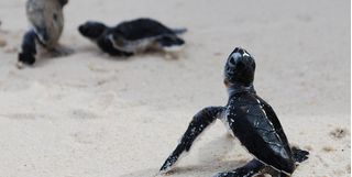 Turtle hatchlings in the sand