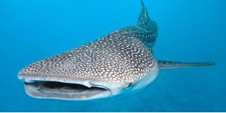 Picture of a whale shark on Ningaloo Reef