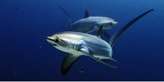 Two threshers sharks in blue water