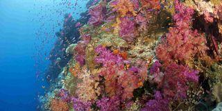 Colourful Coral, Fiji