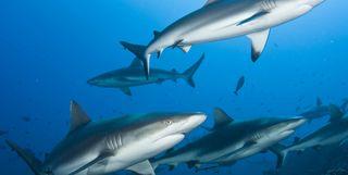 Grey Reef Sharks, French Polynesia