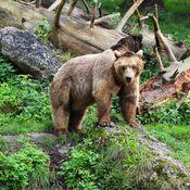 bear-in-the-rockies