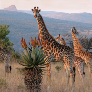 Giraffes at Fugitives' Drift, luxury hotel in South Africa