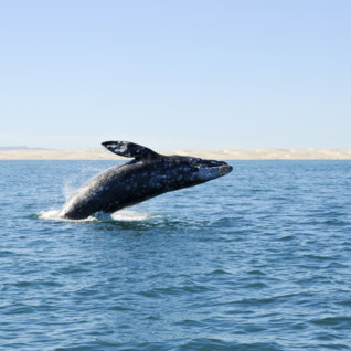 Big Sur Whale Watching