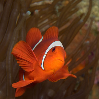 Picture of a clown fish in New Ireland