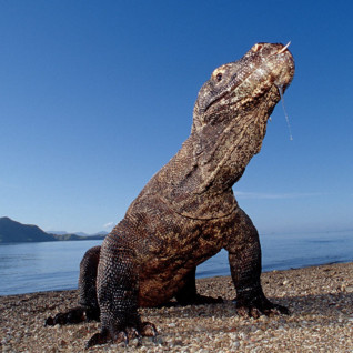 Picture of Komodo dragon