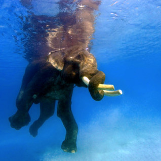 Picture of Swimming elephant
