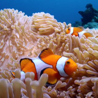 Picture of Clown fish Zanzibar