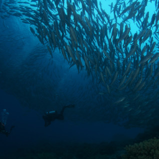 Picture of diving Tubbataha reef