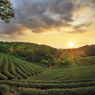 Sunsetting over tea plantations