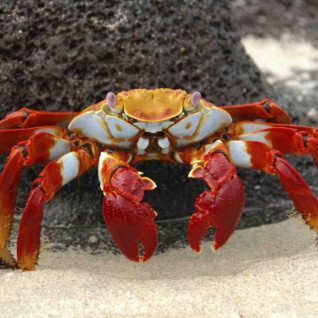 A Sally Lightfoot Crab