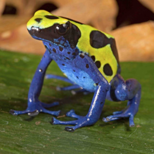Yellow and Blue Frog