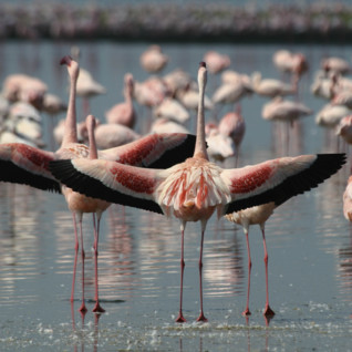 Flamingos in the Rift Valley lakes