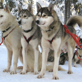 Husky Train in Finland