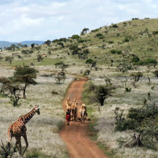 Giraffe, Laikipia, Kenya