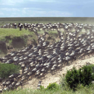 Wildebeest migrating through Kenya
