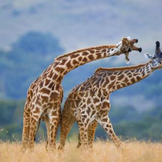 kenya_safari_africa