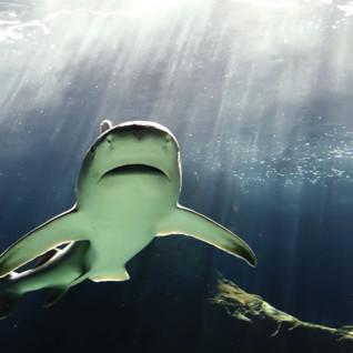 Bull Shark in the Bahamas
