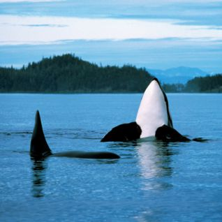 Orca Whales, Canada