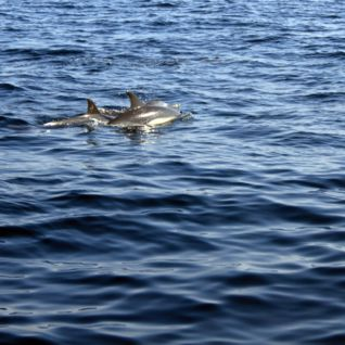 Dolphin Spotting, Muscat