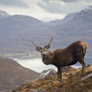 A wild stag in the Scottish highlands