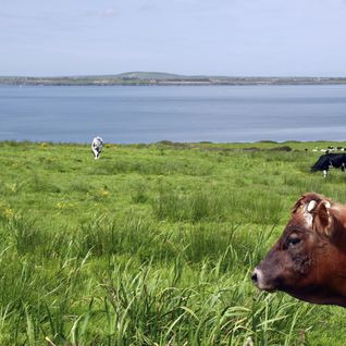 A picture of countryside cows