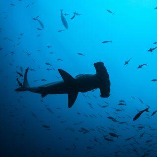 Hammerhead Shark Underwater