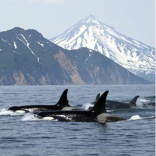 Killer whales, Norway