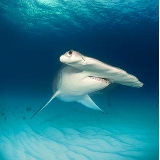 Hammerhead shark, Bahamas