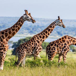 giraffes by river