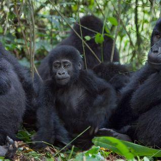 three mountain gorilla