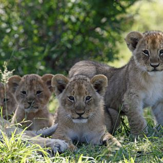 Baby lions in the Masai Mara