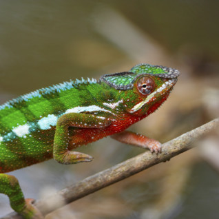 Colourful lizard in Madagascar