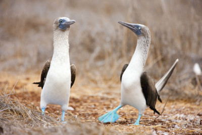 blue footed boobys