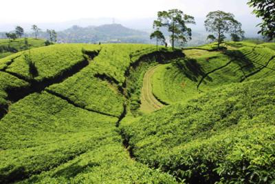 java-tea-field