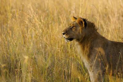 Lion in Botswana Safari