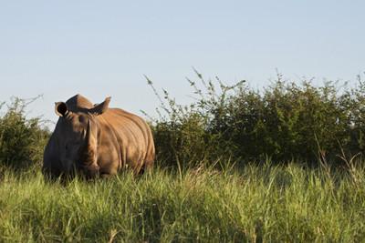 Rhino in Madikwe, Africa