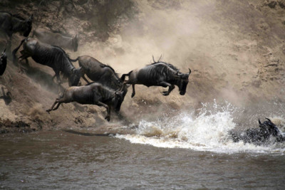 Wildebeest Jumping Into a River