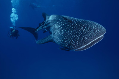 A whale shark and diver