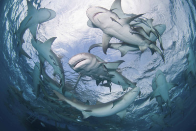 Lemon Sharks circling
