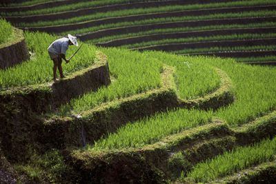 Rice paddy in Indonesia