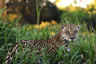 Jaguar Brzail