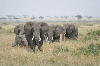 Elephants in the Serengeti, Tanzania