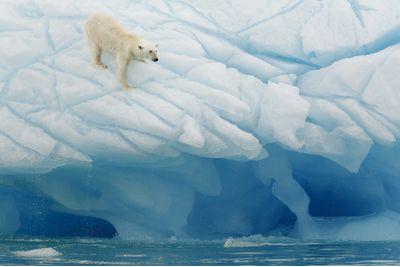 A polar bear on the ice, Svalbard