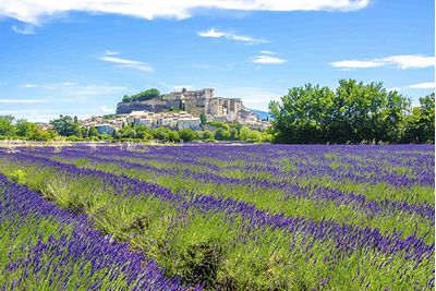 Lavendar fields in Provence, France