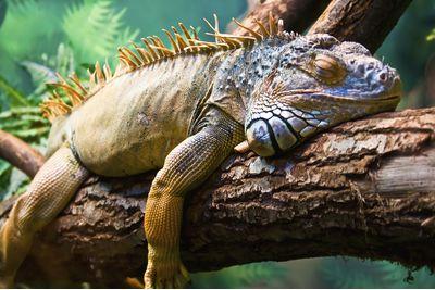 Sleeping iguana on a tree