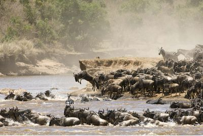 Tanzanian wildebeest migrating