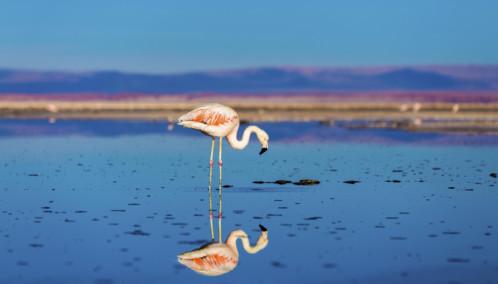 Pink Flamingo in the Atacama Desert, Chile