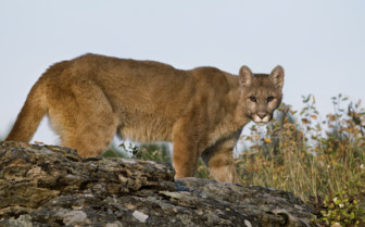 A Puma in the Yosemite National Park