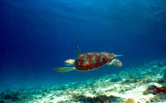 Picture of Turtle in the British Virgin Islands